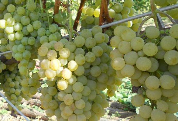 Виноград Технический сорт Цитронный Магарача