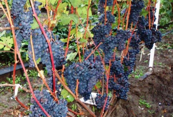 Виноград Технический сорт Северный Синий