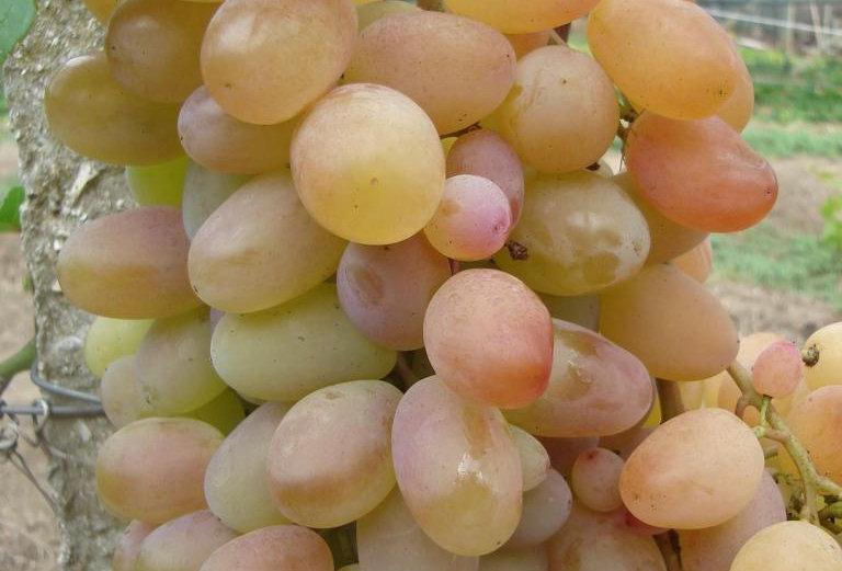 Виноград Столовый Преображение