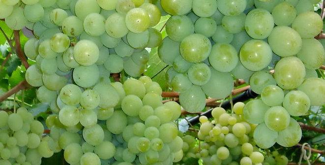 Виноград Столовый Талисман
