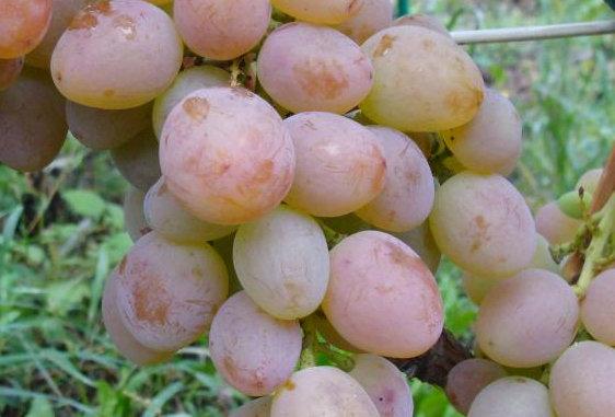 Виноград Столовый Алладин