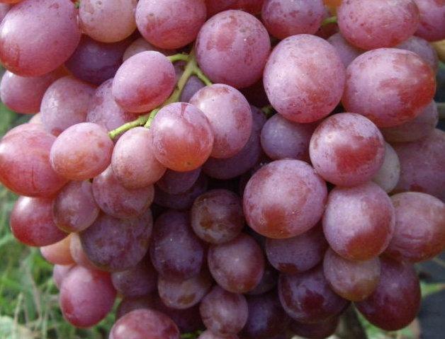 Виноград Столовый Рубиновый юбилей