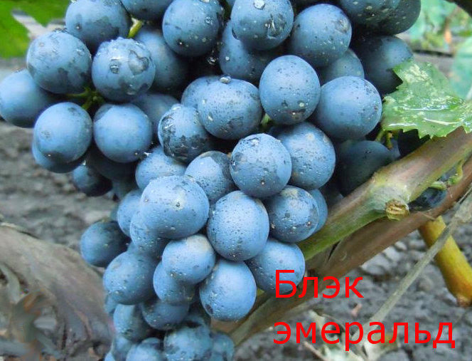 Виноград Кишмиш Блэк Эмеральд (Black Emerald Seedless)