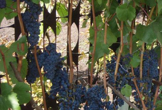 Виноград Технический сорт Брускам