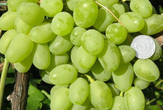 Виноград Столовый Галахад