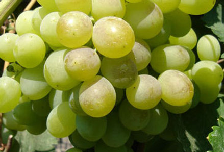 Виноград Столовый Восторг
