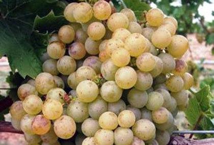 Виноград Технический сорт ES-26 (Винный)