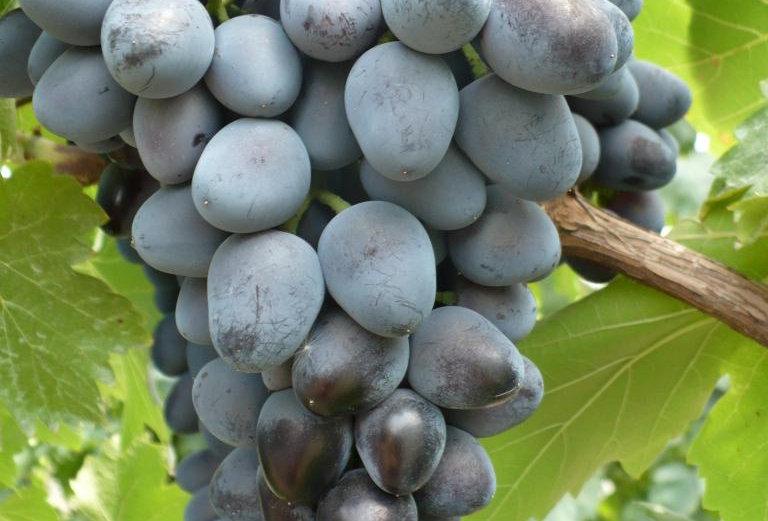 Виноград Столовый Кубань