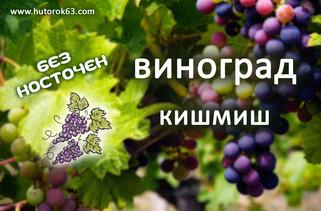 Виноград Кишмиш - Хуторок63
