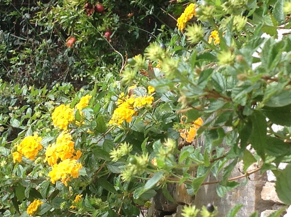 Such colour ... the butterflies are loving the Lantana nana
