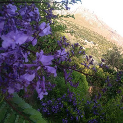Jacaranda tree in flower