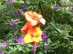Canna lily backed with Solanum