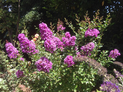 Lilas des Indes Lagerstroemia