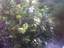 Hybiscus mutabilis and Cassia fistula