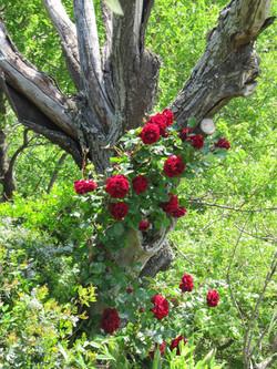 Climbing rose in cottage garden