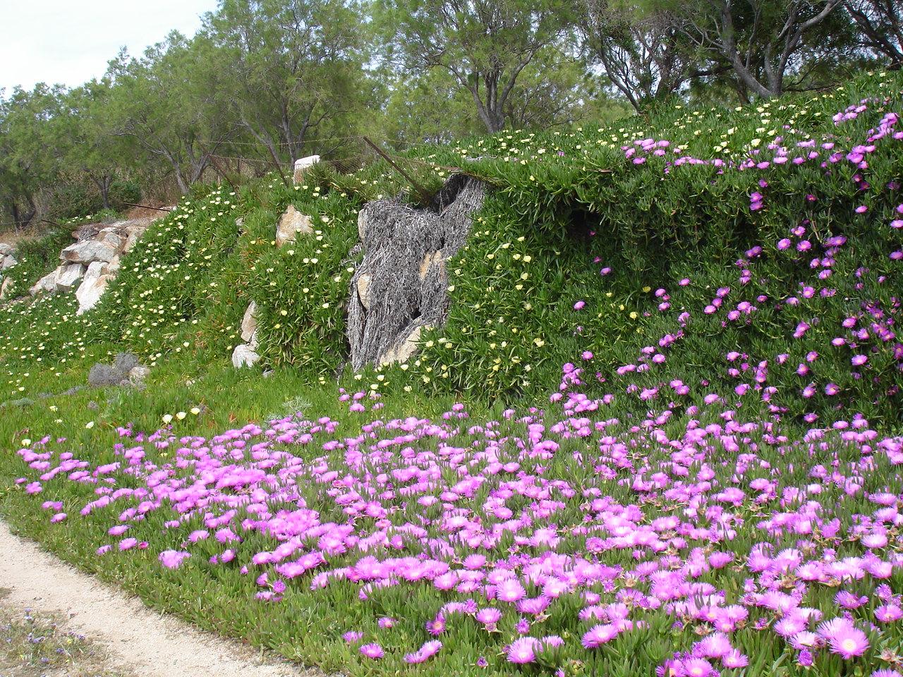 Ice plants (Delosperma cooperi) on the verge