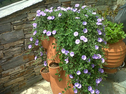 Strawberry pot with trailing Convolvulus