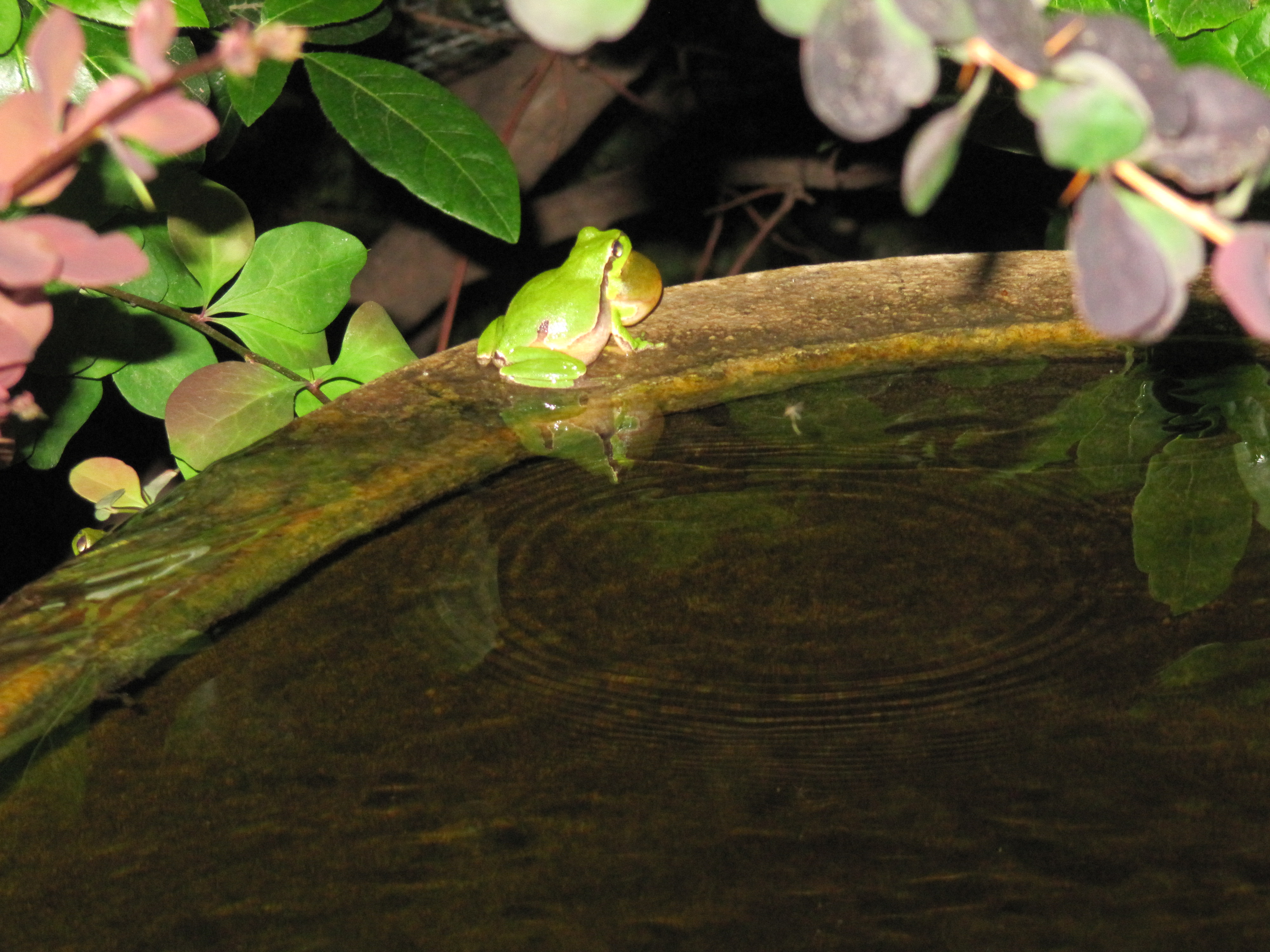 Tree frog in full song on the rim of the water feature