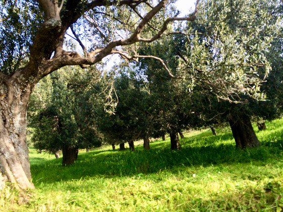 Olive harvesting at the Evia Island Garden Club 7-9/14-17 November