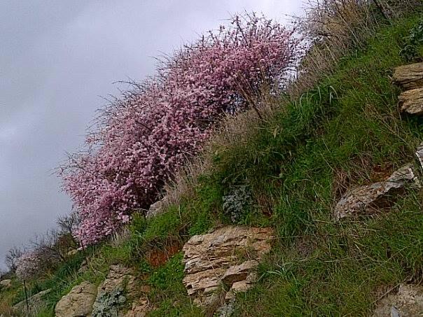 Almonds in bloom in early February!.jpg