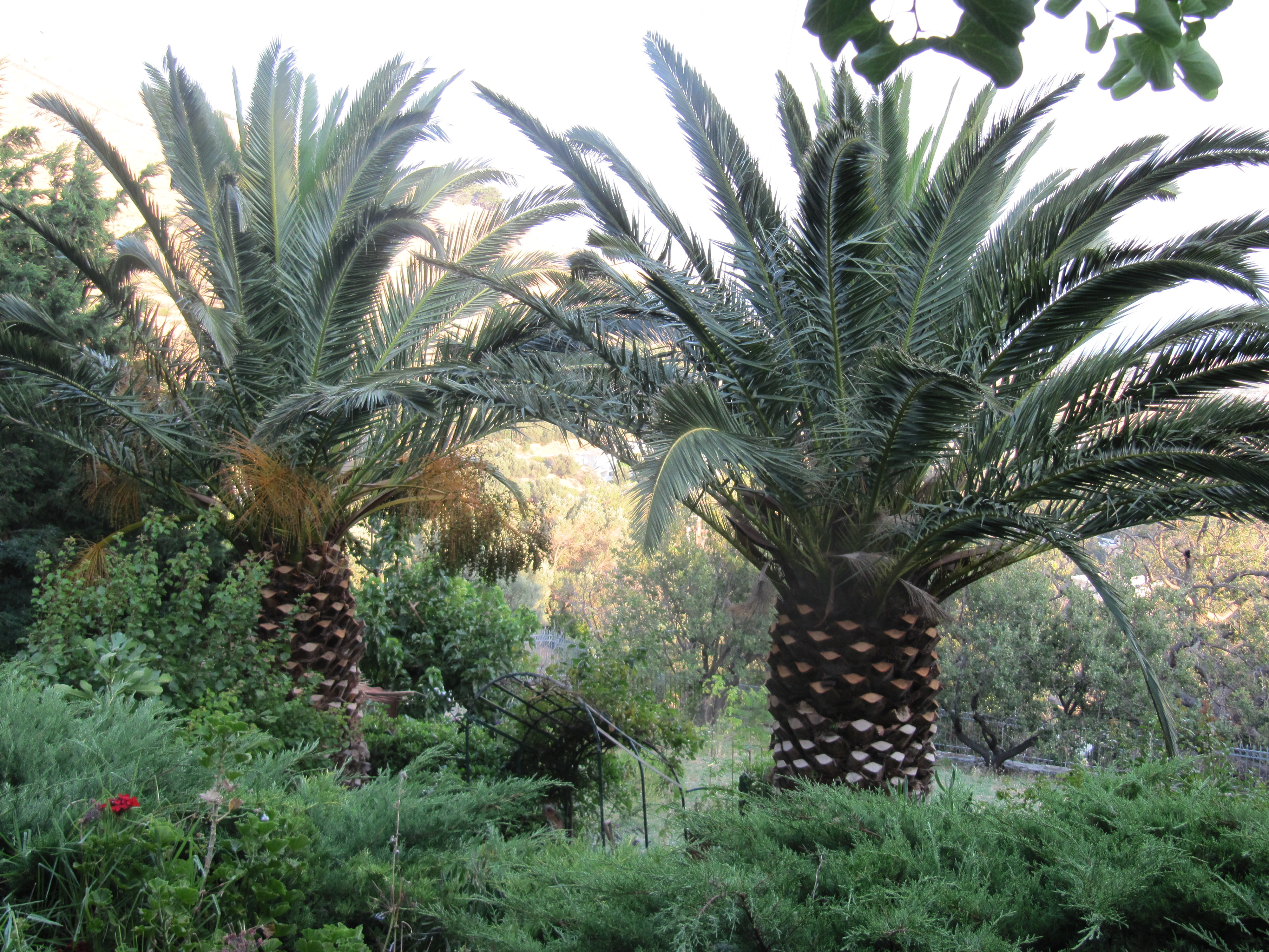 Date palms before the scourge of the Nile beetle