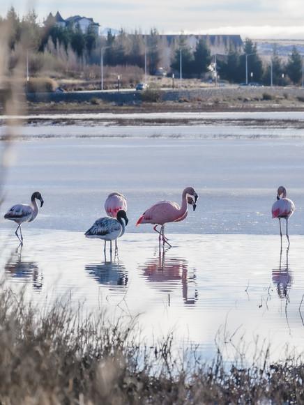 Flamencos en lago buenos aires - El Calafate, Argentina