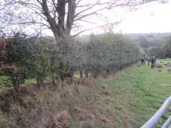 Scotney Hedge Before