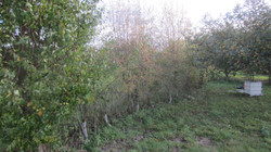 Bolney hedge before