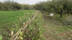 Hedgelaying