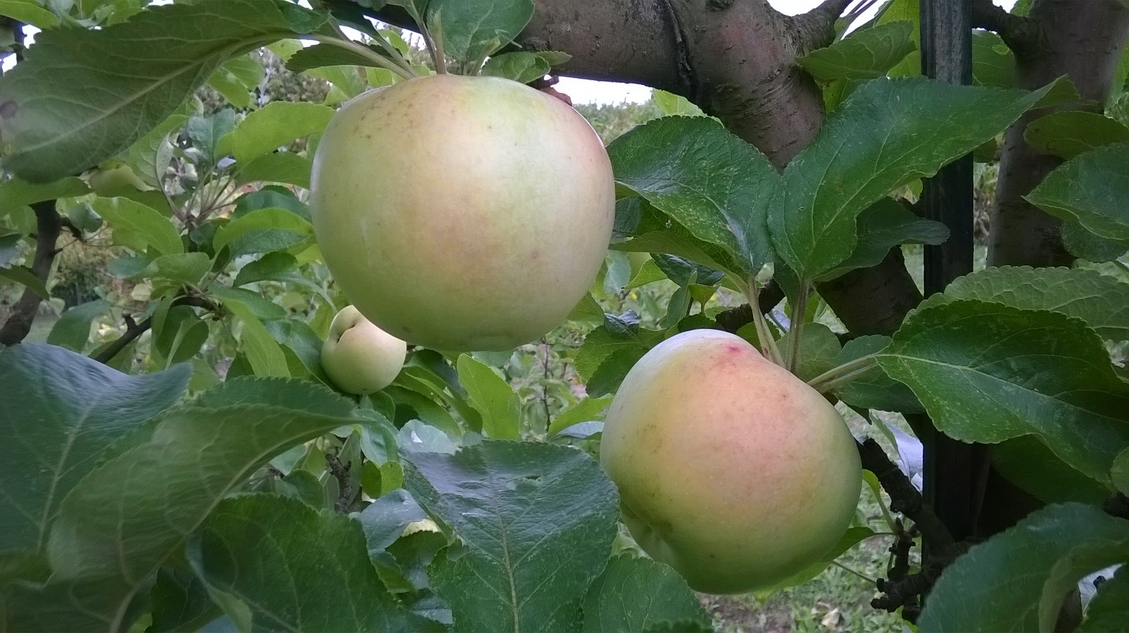 Pomme Coing