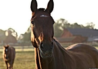 Hästar_i_morgonljus.jpg