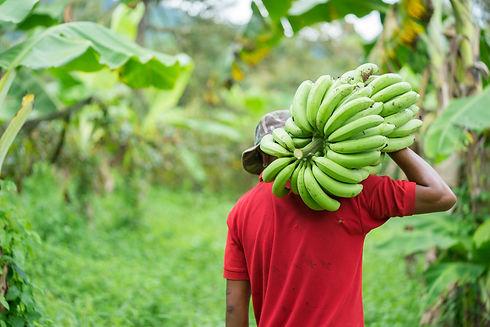 farmer bearing green banana on farm.Labo