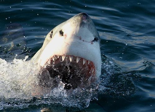 Shark Conservation Donation