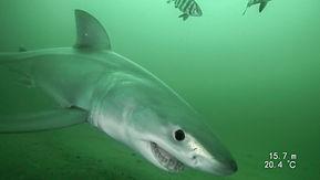 Great White Shark 1.jpg