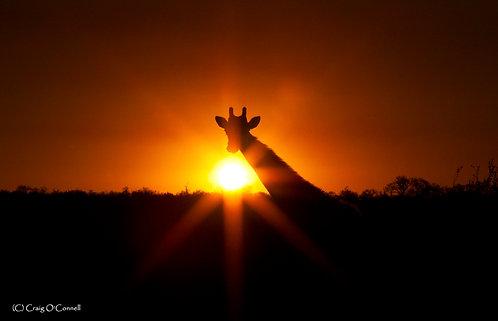 Sun Rays and Giraffe