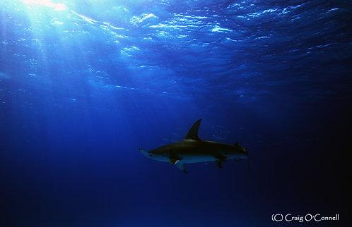 Great Hammerhead Shark Silhouette