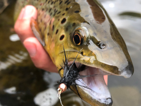 Flows Are Receding! Adirondack Brown Trout