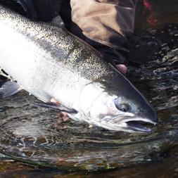 Salmon River Steelhead Fly Fishing NY