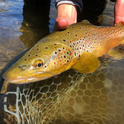 Brown Trout West Branch of the Delaware River Fly Fishing