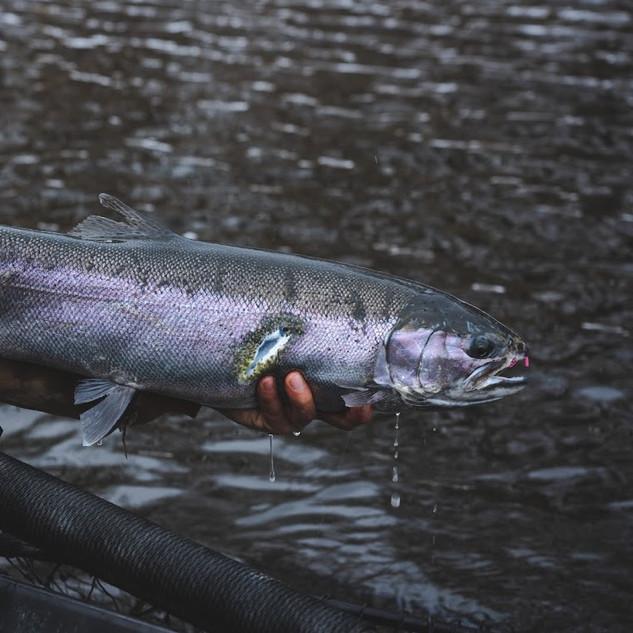 Salmon River Steelhead Pulaski NY