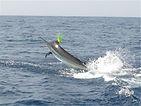 Marlin bleu a Las terrenas