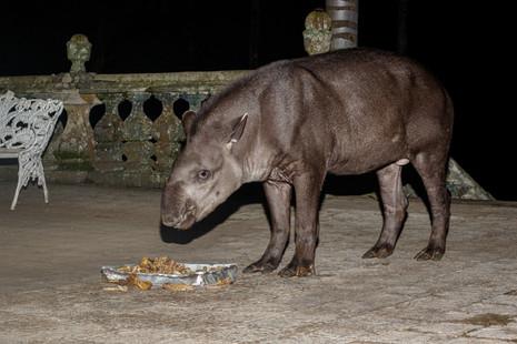 Além do famoso lobo-guará, anta também marca presença no Santuário do Caraça
