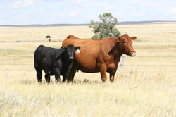 LEWIS MONA 108 AND 0102X HFR CALF