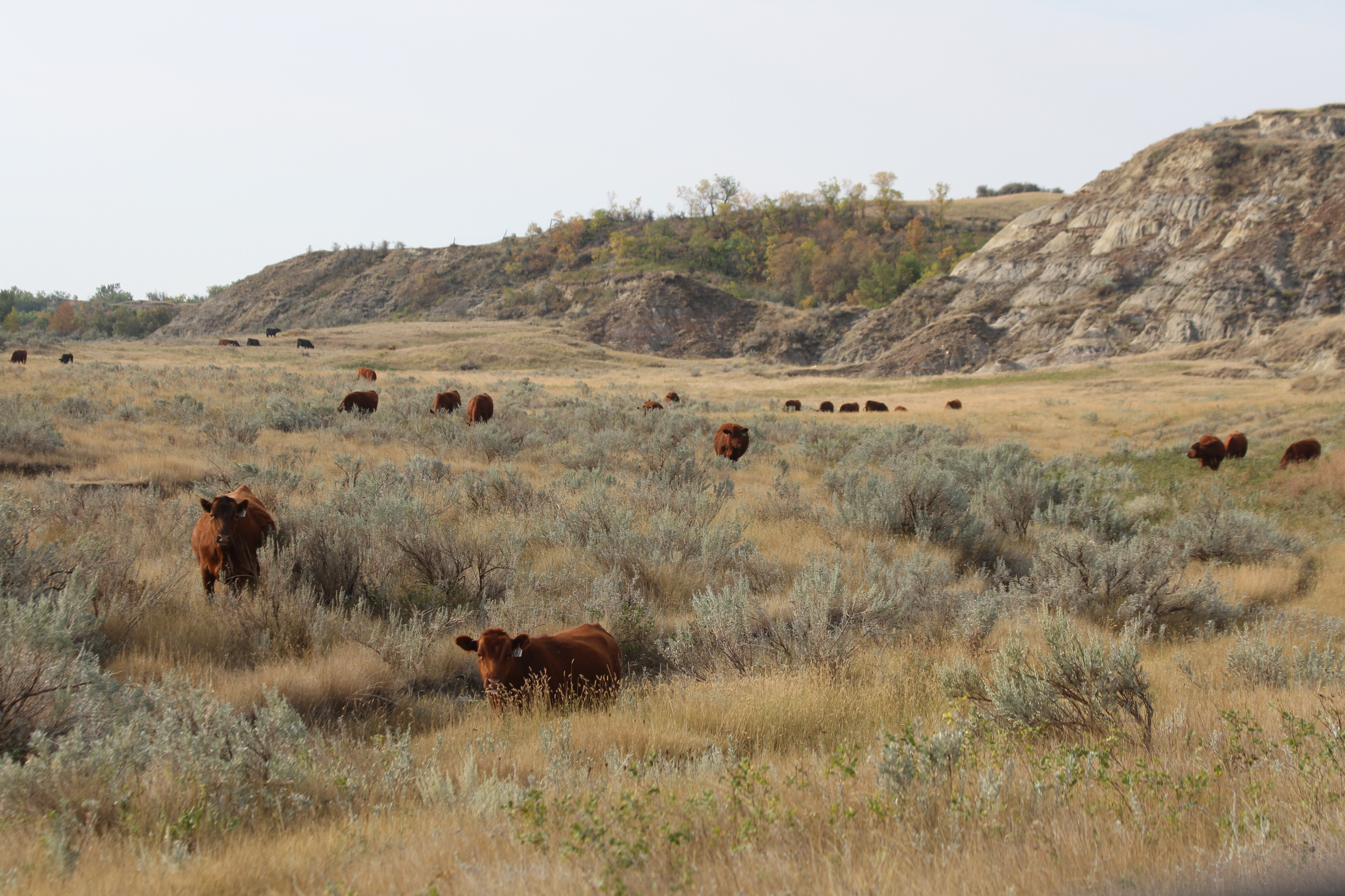 Curious Red Angus Cows