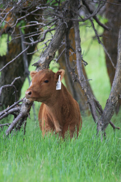 A Young Red Angus Calf