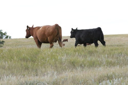 108 AND HFR CALF_2015