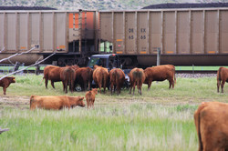 Cows and Transportation
