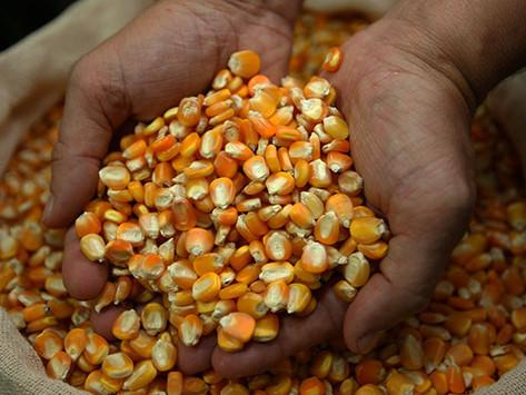 Acesso a estoque público de milho é prorrogada por 60 dias