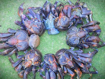 uu- coconut crabs