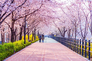 Cherry blossom of Spring in Seoul, South